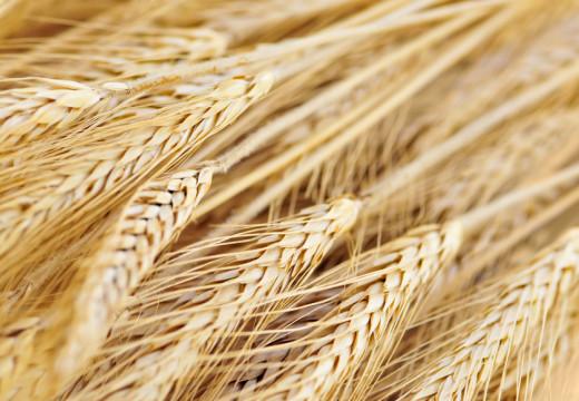 Gluten – nadwrażliwość na kiełki i zboża to nie alergia
