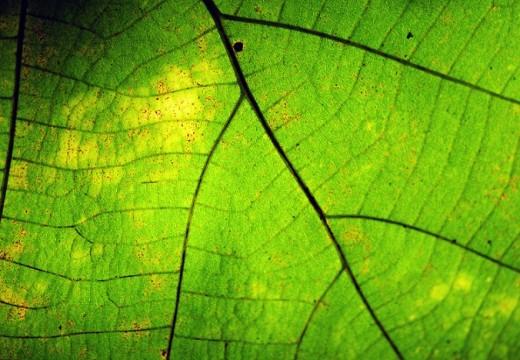 Pyłki leszczyny i olchy