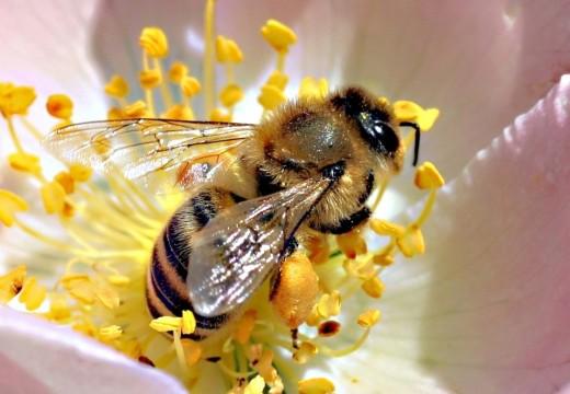 Jad pszczół