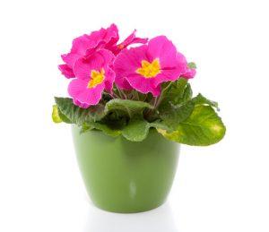 Uczulenie na rośliny doniczkowe