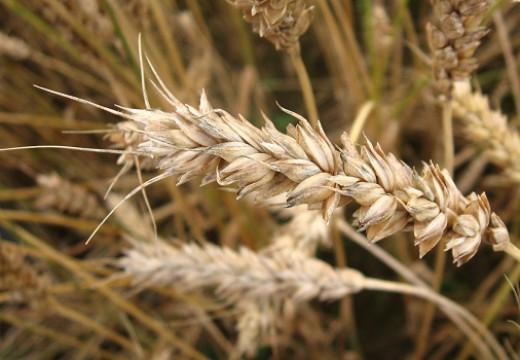 Pyłek pszenicy