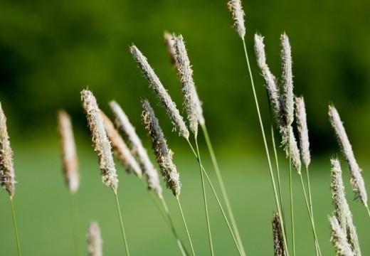 Pyłki traw