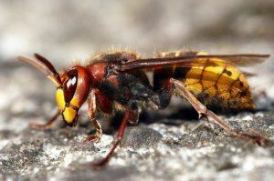 alergią na użądlenia owadów