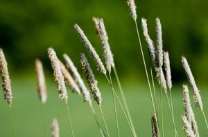 Im krótsza zima tym stężenie pyłków wiosną mniejsze
