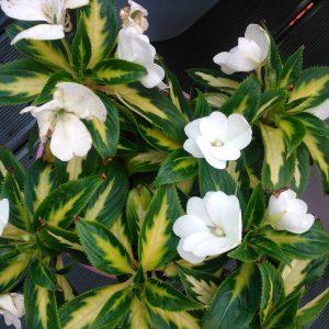 Jakie kwiaty znajduj si na waszych werandach i balkonach?