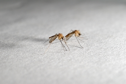Polskie komary powodują co najwyżej alergię