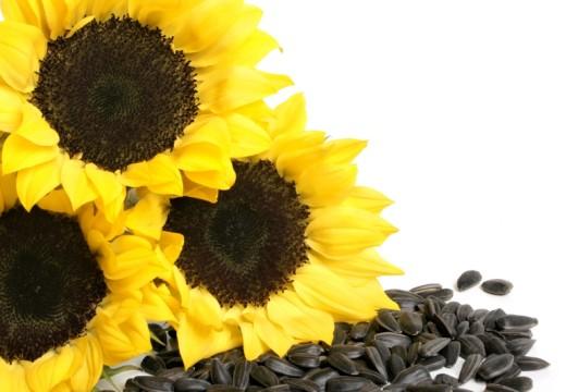 Jakie objawy alergii może wywołać słonecznik?