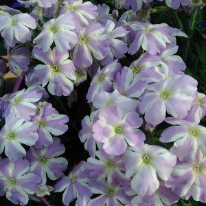 Te piękne kwiaty umilaja nam czas spędzany na tarasie:) jaka…