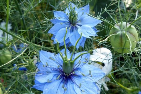 Czarnuszka i krwawnik pospolity – zioła przydatne w leczeniu alergii