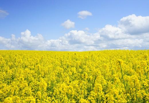 Czy żywność genetycznie modyfikowana przyczyni się do wzrostu zachorowań na alergie?