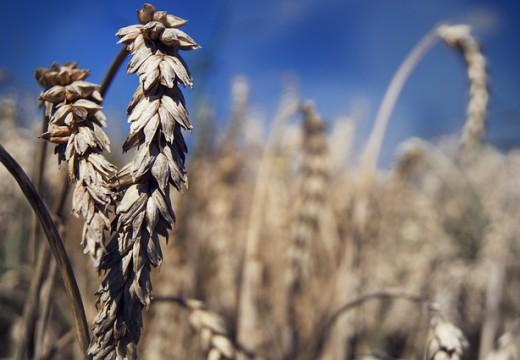 Czym się różni celiakia od alergii na gluten?