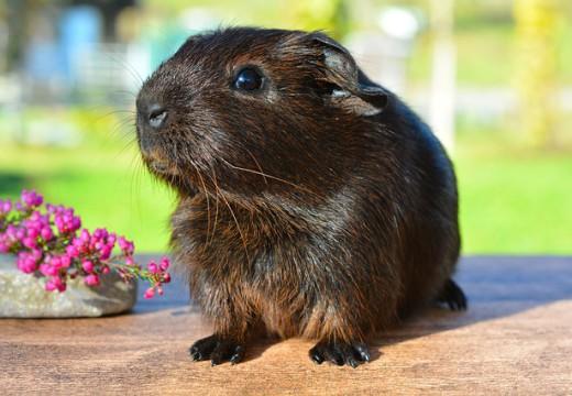 Uczulenie na świnkę morską – czy uniemożliwia posiadanie zwierzątka?