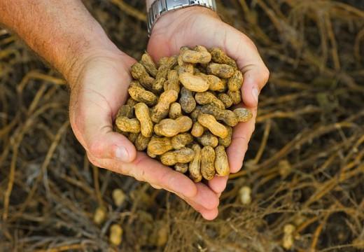 Czy bakterie pomogą w walce z alergią na orzeszki?