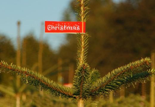 Choinka idealna, czyli wybieramy świąteczne drzewko