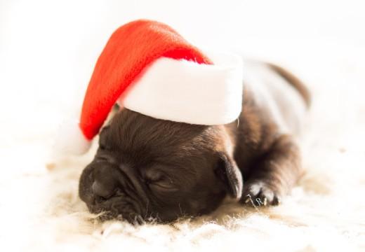 Pies jako prezent – uważaj na alergię!