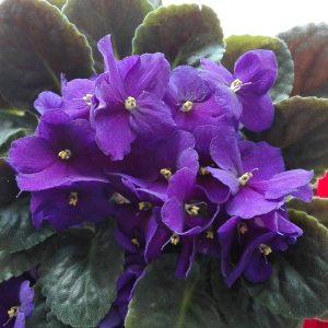 Kwiaty mog poprawi nastrj take alergikom  mojealergie kwiaty fiolkihellip