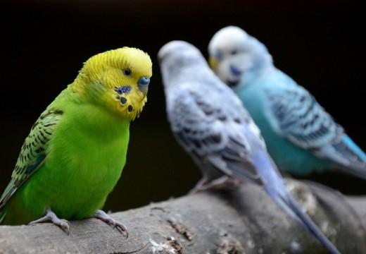 Alergia na papugi