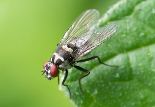Alergia na jad meszek