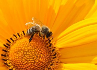 wstrząs anafilaktyczny po ukąszeniu przez pszczołę