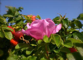 dzika róża