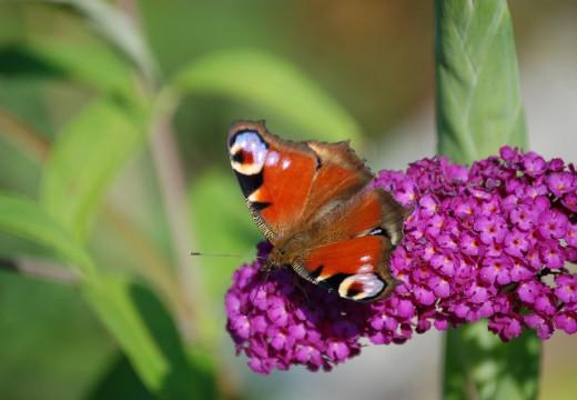 Budleja – roślina na alergiczne problemy