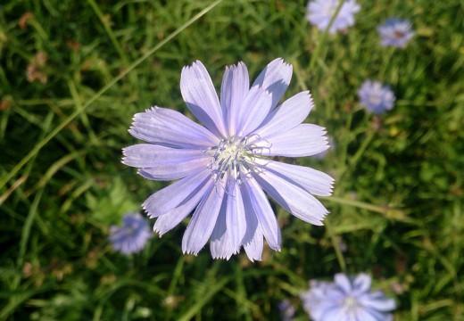 Cykoria podróżnik – naturalny lek na alergie