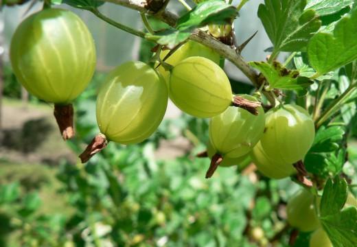 Alergia na agrest – przyczyny i objawy