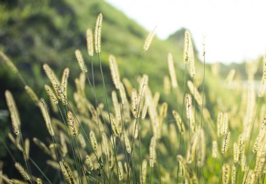 Co pyli w lipcu? Jakie pyłki wywołują alergię w lipcu?