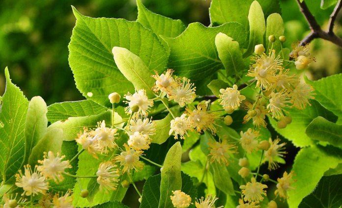 alergia na pyłki lipy