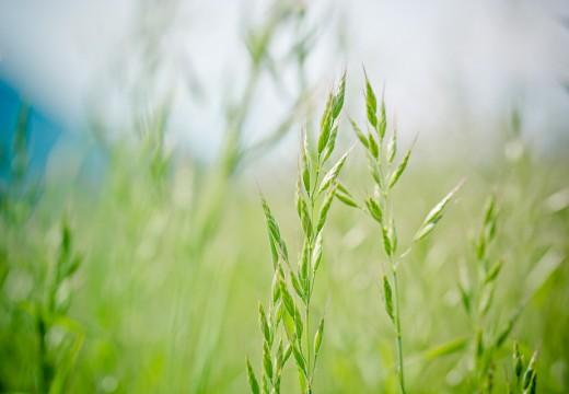 Gatunki traw, które uczulają