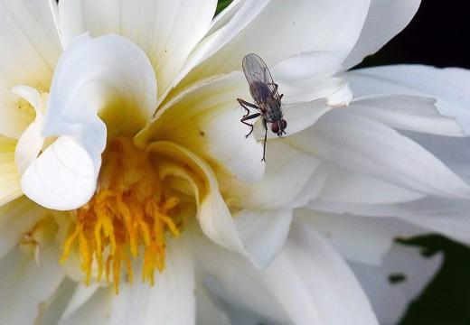 Alergia na meszki – przyczyny i objawy