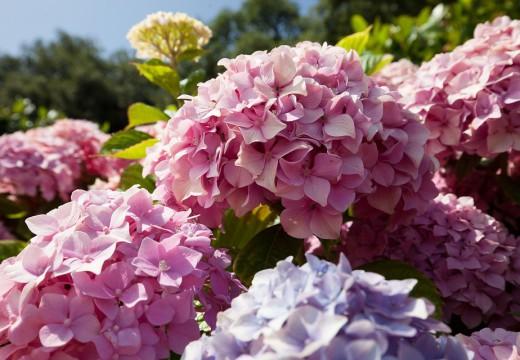 Hortensje – rośliny ogrodowe dla alergika