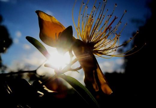 Które zioła uczulają na słońce?