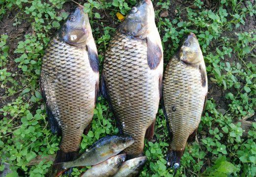 Alergia na karpia i inne ryby