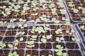 rośliny GMO
