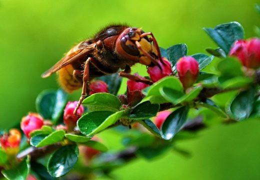Szerszeń a alergia – czy owad ten jest groźny w ciepłe zimy?