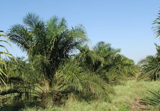 Czy olej palmowy jest szkodliwy dla zdrowia?