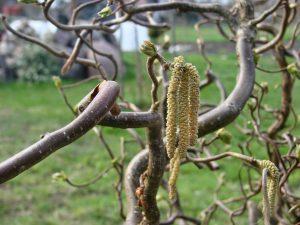 pyłki roślin