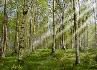 alergia na pyłki brzozy