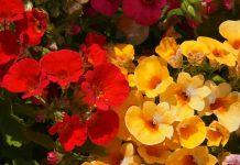 balkonowe kwiaty